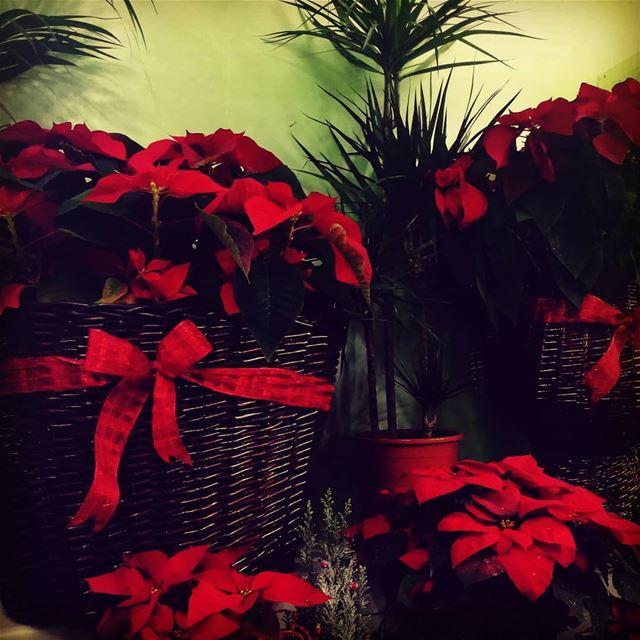 rose red zahle flowers lebanon christmas winter livelovelebanon city... (Beqaa Governorate)