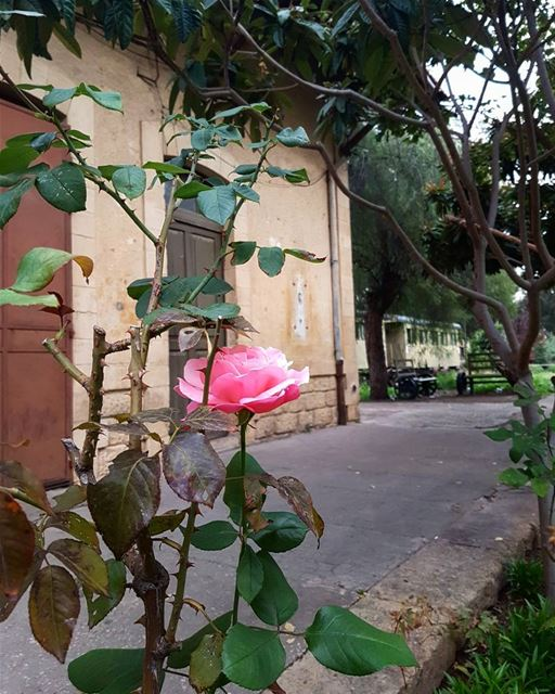 Pink Rose waiting for the Sunday Express... thisislebanon79 ... (Trainstation Mar Mikhaël)