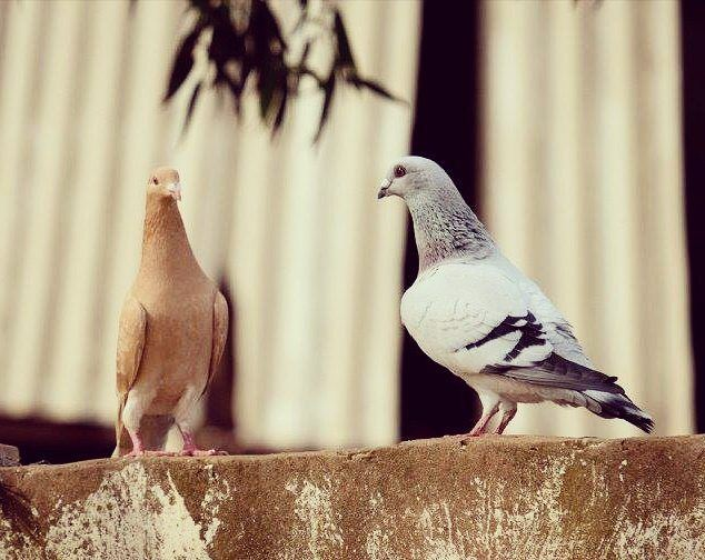 dove  anfeh  sunset  beautiful  birds   lebanon  walk  relax ... (Anfeh Al-Koura أنفه الكورة)