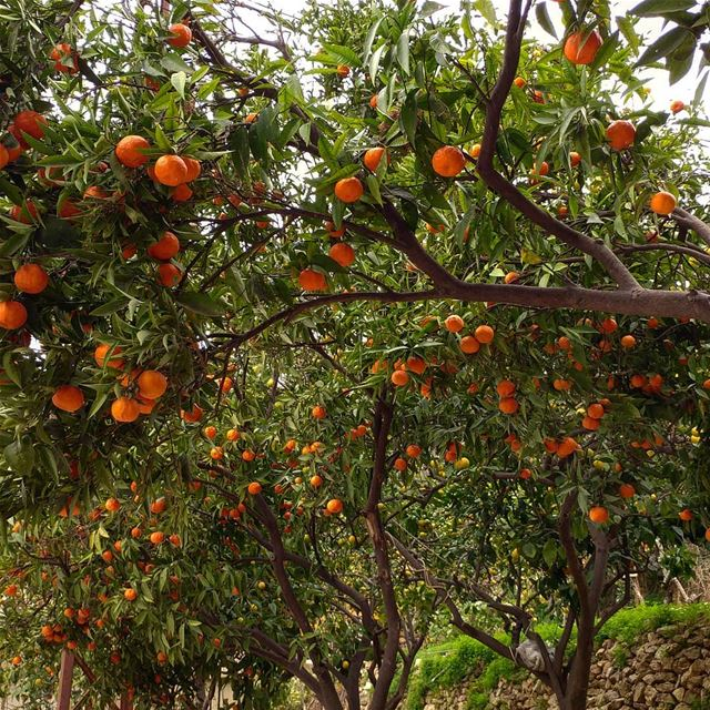 Explosion of clementines on a street corner. orchard citrus fruittrees ... (Kfarhim)