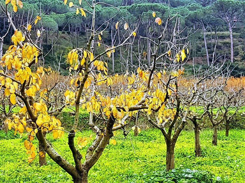 On the first day of winter winter season mountain marchaaya trees ... (Mar Chaaya Broumana)