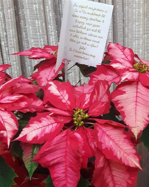 Have you sent  poinsettia to the one you  love this  christmas ?wish for...