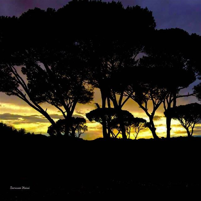 pines trees yellow sunsettime ...