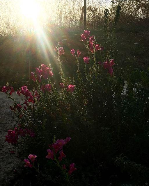 lebanon maghdouche beautifulnature nature pink flowers pinkflowers ... (Maghdoûché, Liban-Sud, Lebanon)
