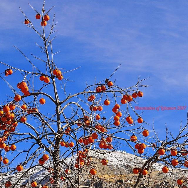 Crazy persimmon tree! (kakhi/kharma) it looses all its leaves when fully... (Faraya, Mont-Liban, Lebanon)