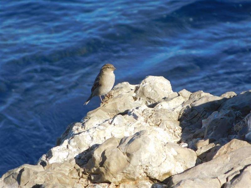 picoftheday world lebanon beirut bird sea blue water free photography...