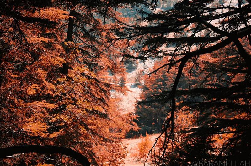 365/365✔️...✨ canon canonphoto photographer Lebanon asia alshouf ... (Al Shouf Cedar Nature Reserve)
