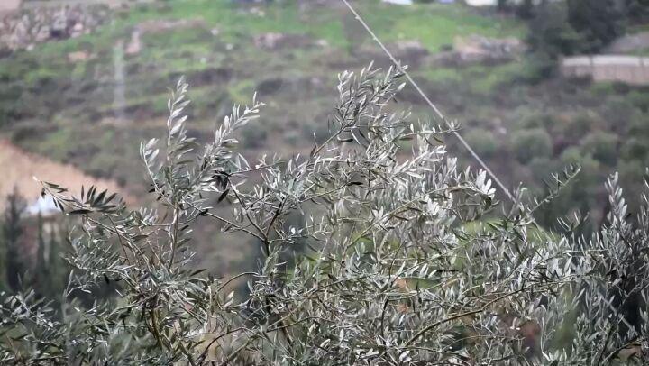حومين الفوقا في عين المنخفض ... winter rain tree olive wind lebanon ...