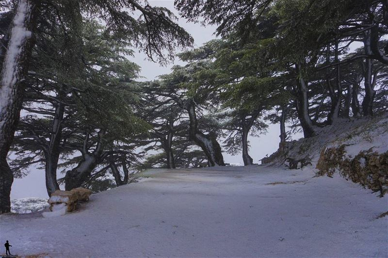 When snow falls, nature listens. snow nature cedar ... (Al Shouf Cedar Nature Reserve)