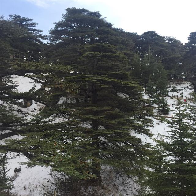 lebanon cedars mountains snow trees nature naturephotography ... (Cedars of God)