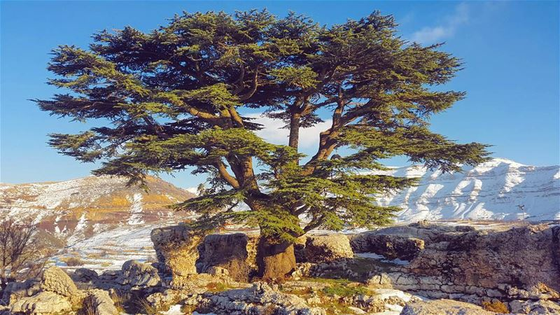 Lebanon  cedar  photography  mountain  nature  picturesque  beirut  tree ...