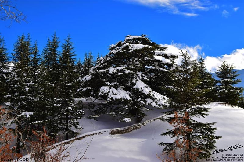 No wonder why it is called Cedars of God... souwarfromlebanon ...