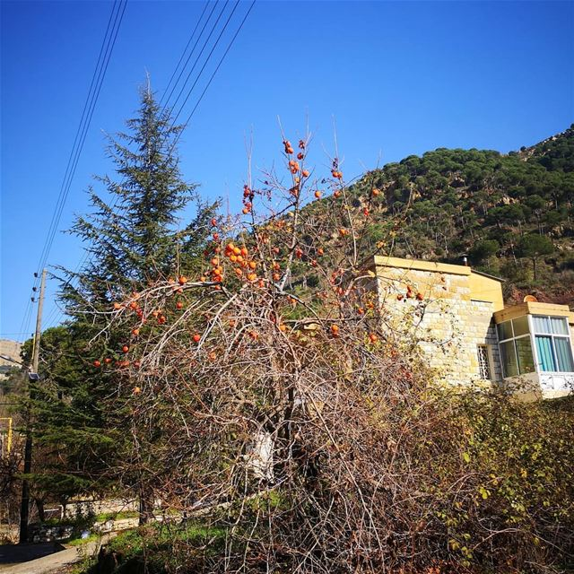 Significant duet of persimmon and cedar in beautiful baskinta!...... (Baskinta, Lebanon)