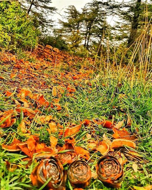 Winter roses cones cedars forest lebanon explore untouched niha ...