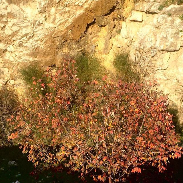 a tree still thinking it is Fall exposing its gold and red hues still... (Rayfun, Mont-Liban, Lebanon)