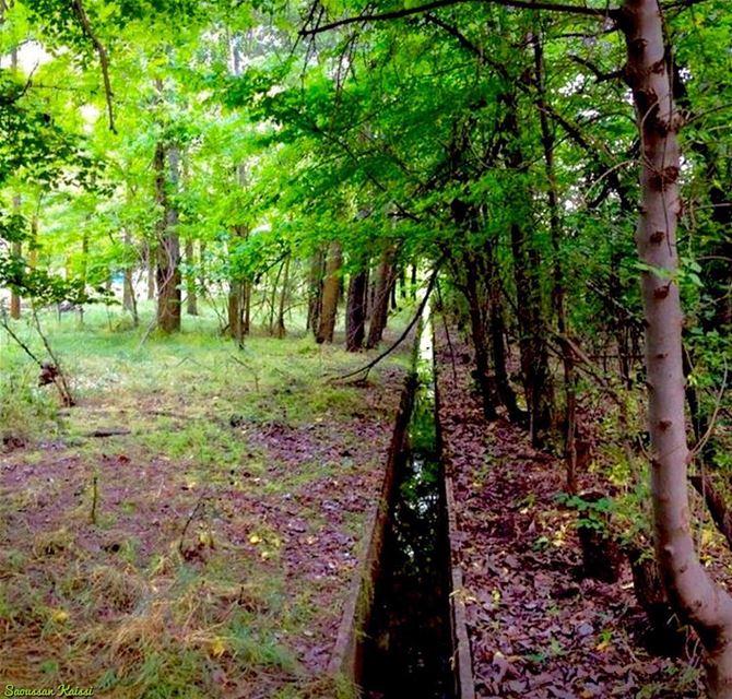 forest trees green taanayel bekaa lebanon ...