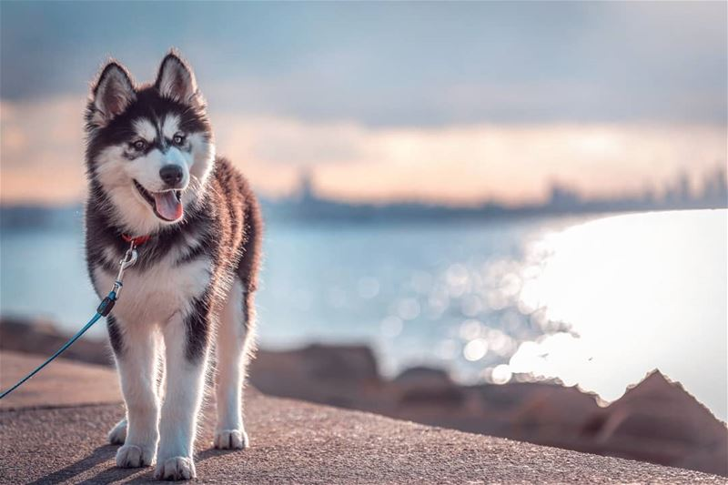 Its something about Huskies❤️  discover  lebanon  theglobewanderer ...