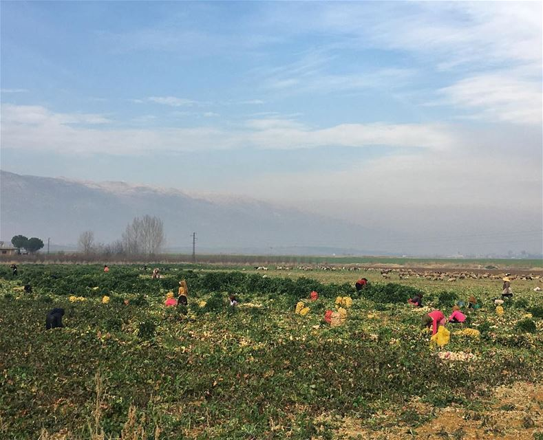 Potato Picking 🥔Zoom in to see the Potato Bags potatoes potatopicking... (West Bekaa)