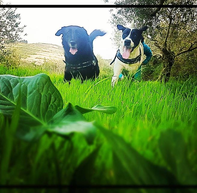 good weather bad weather what we need is to run free ! pepita and Melusine... (Kafr Hata, Liban-Nord, Lebanon)