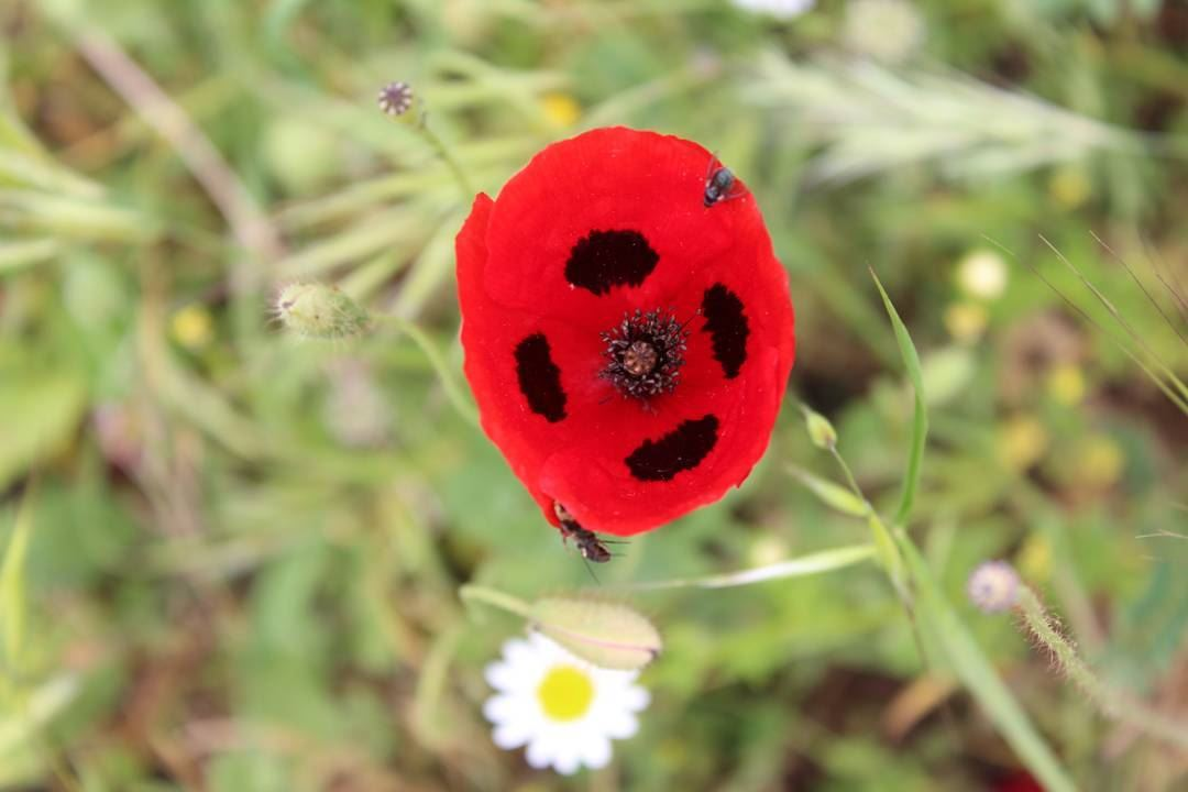 picoftheday saturday lebanon world nature natureaddict grass flower red...