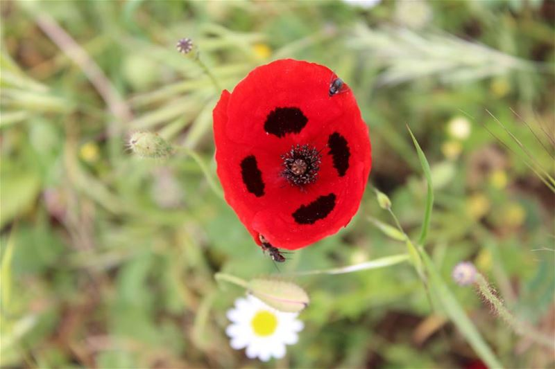 picoftheday saturday lebanon world nature natureaddict grass flower red...