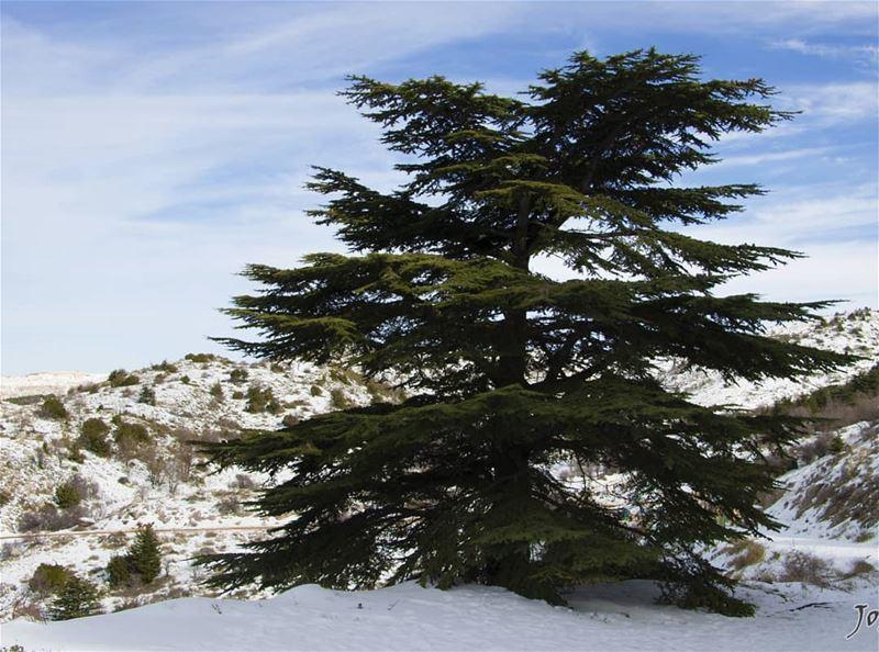 انت الأرزة و نحن خطها الأحمر 🌲🇱🇧 lebanon cedarsofgod🌲 Cedar cedars... (Arz el Bâroûk)