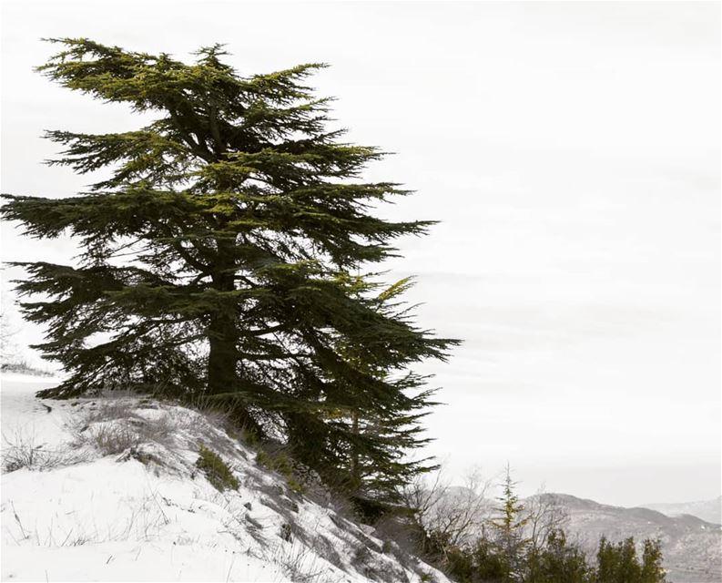 Cedrus Libani 🌲🇱🇧 lebanon cedarsofgod🌲 Cedar cedars cedarsforest ... (Barouk Cedars)