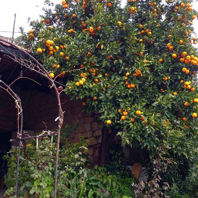 Orange juice, anyone? orange orangetrees freshandlocal livelovelebanon ... (Dayr Al Qamar, Mont-Liban, Lebanon)