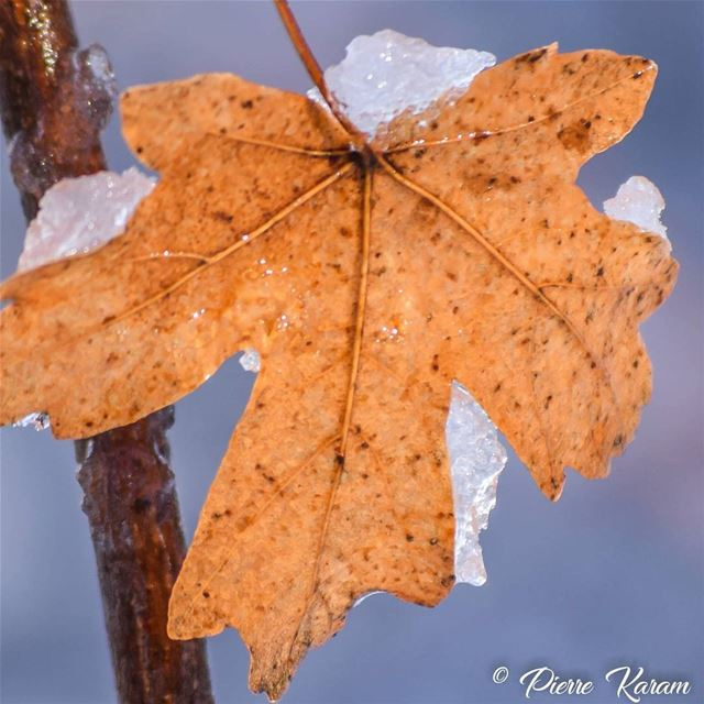 maple leaf in the snow lebanon lebanese mountain cold winter ...