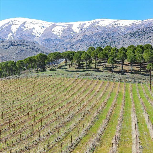 🇱🇧 O mercado de vinhos movimenta a economia do Líbano, país que há... (Château Kefraya)