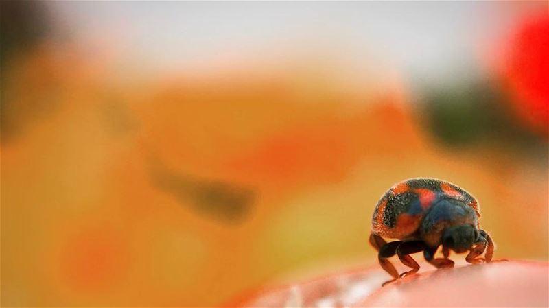 🐞 دعسوقة خنفساء صغيرة ladybug coccinelle spring orange macro ... (Verdun)