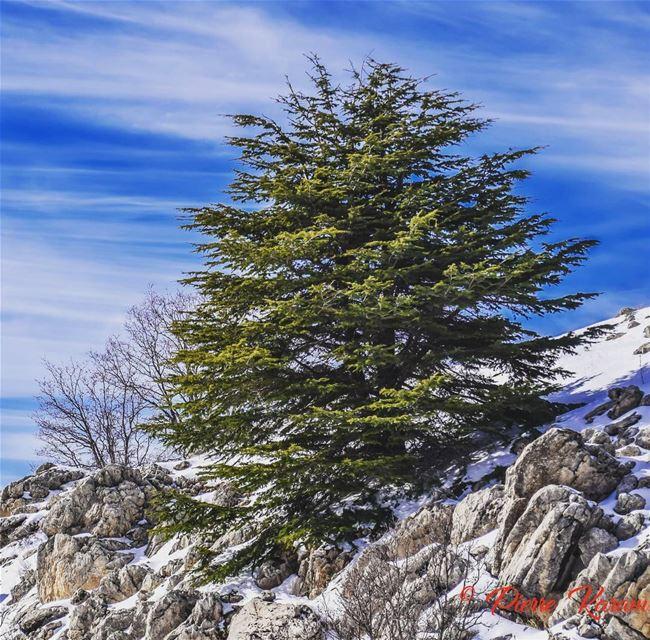 wonderfull dayIn shouf Cedars forest snow photography ...