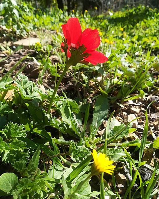 redflower yellowflower springview livelovehasbaya❤️ enjoysunnyday ... (Hasbaya)