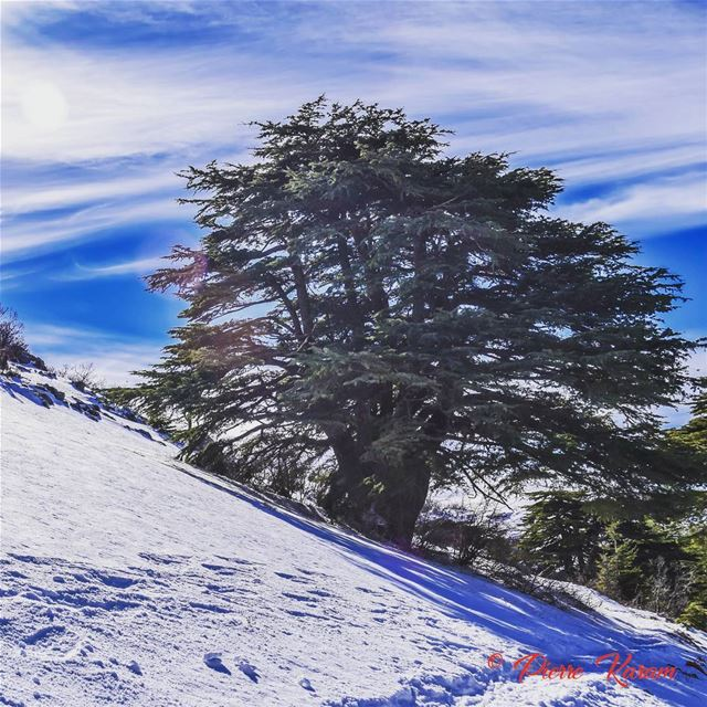 wonderfull dayIn shouf Cedars forest snow photography ...