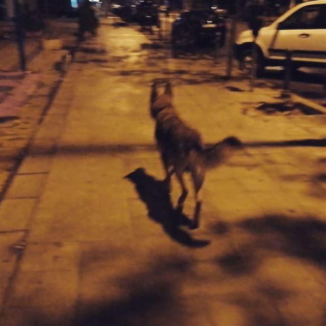 dogs dog berger tripoli lebanon ...