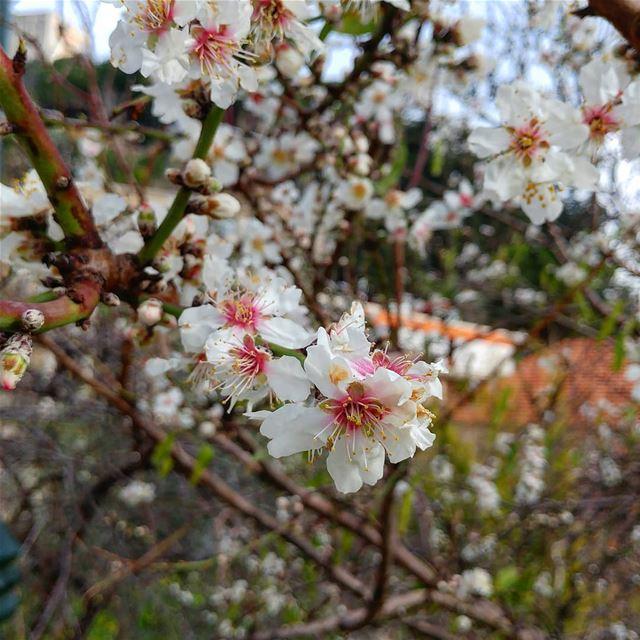 What??? Spring already? blossoms almondtree springseason springflower ... (Dayr Al Qamar, Mont-Liban, Lebanon)