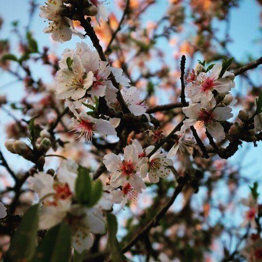 flowers almondtree zeaitreh hiking livelovezeaitre lebanon walk ...