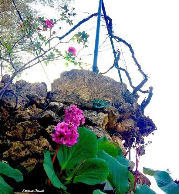 flowers roses pink stones village lebanon simplicity ...