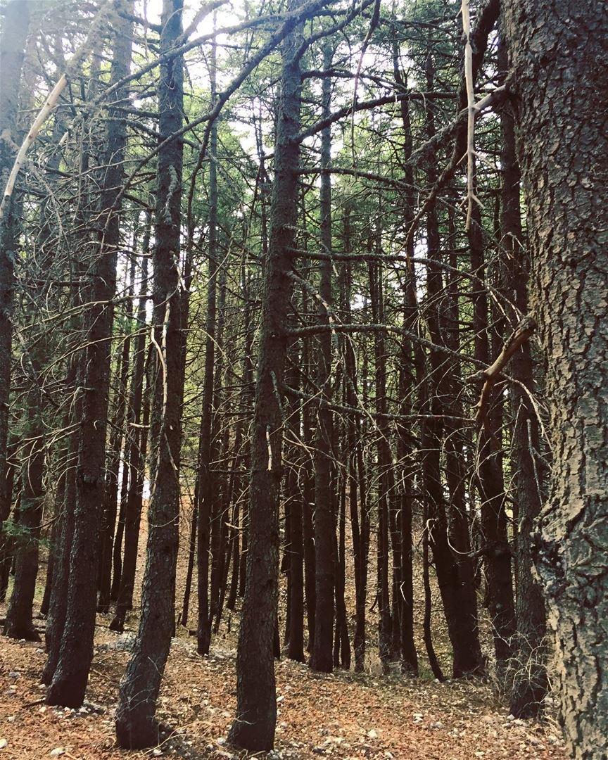 Lebanese cedars nature forest trees winter season cold high ... (Arz el Bâroûk)