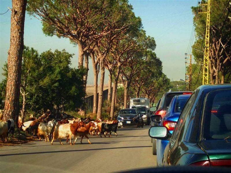 فقط في لبنان 🇱🇧 🐏🐑¦¦🚗🚘... (Aïn Saadé)