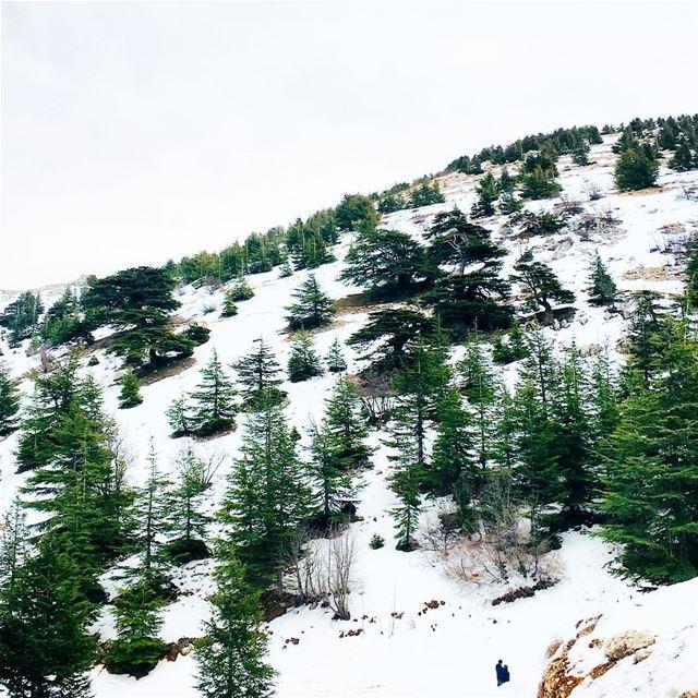 The Majestic Trees 🌲. cedar barouk cedaroflebanon shouf lebanon ... (Arz el Bâroûk)