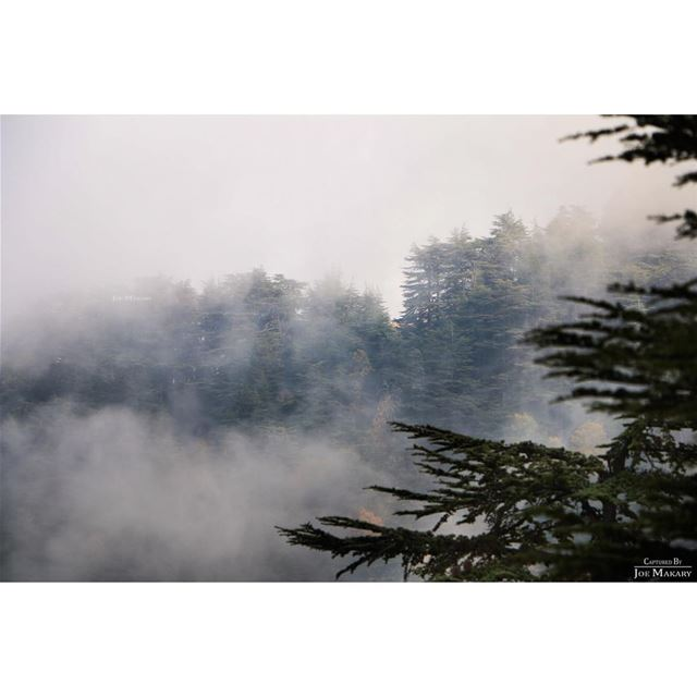 ehden ehdenreserve ehdennaturereserve trees cedars fog clouds ...
