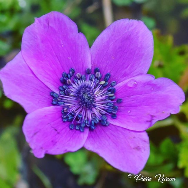 Is it  spring yet . coquelicot  flowers  flower violet bloom  blooming ...