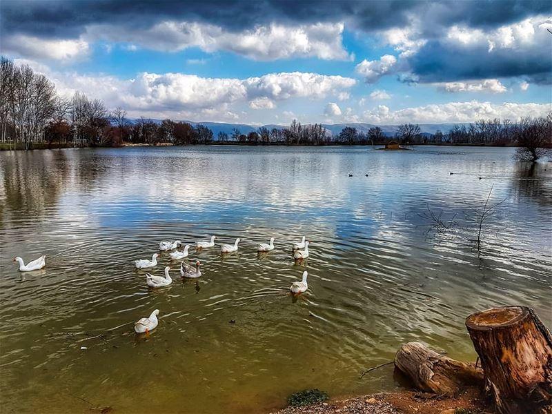 Free in nature free geese lake landscape livelovebekaa ... (Deïr Taanâyel, Béqaa, Lebanon)