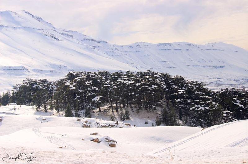 🇱🇧يا لبنان بحبك تا تخلص الدني... (The Cedars of Lebanon)