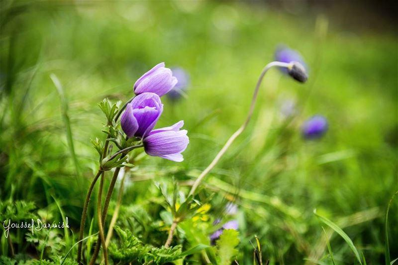 nikonlebanon nikon nikond7100 lebanon flower purple love nature ... (Jezzîne, Al Janub, Lebanon)
