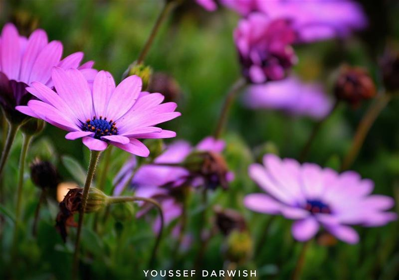 nikonlebanon nikon nikond7100 lebanon flower purple love nature ...