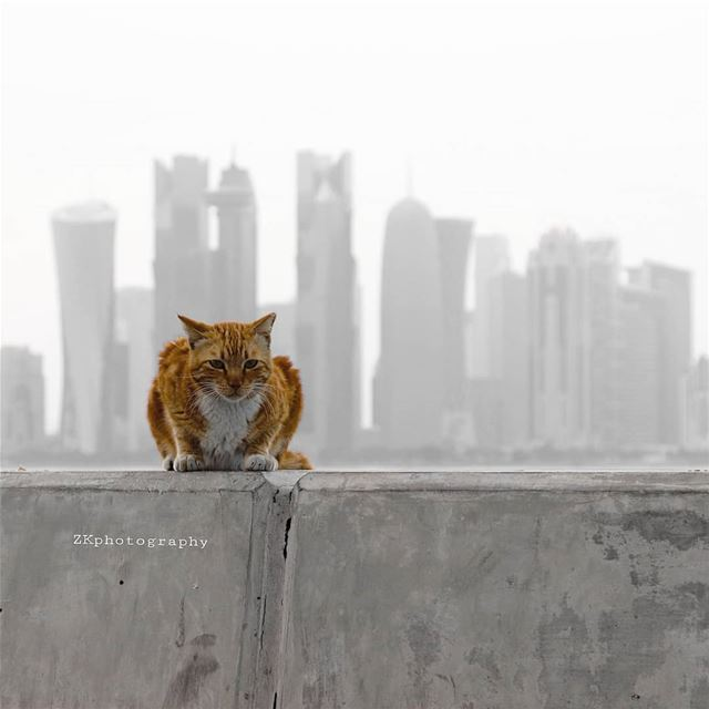 A cat in the city 🐺 * amazing_qatar  qatarism  bw_splash  clubasiapro ... (Doha)