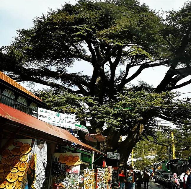 cedar Lebanon lebanoninapicture symboloflebanon ... (Cedars of God)
