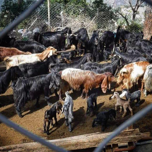 goats azour jezzine hiking lebanon walk relax vacation landscape ... (Jezzine District)